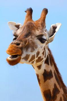 Giraffe Portrait #public domain image