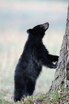 Love this black bear in Cades Cove - So cute!