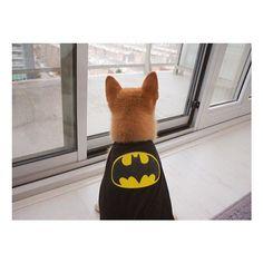 Holy crap, I'm Batman! #happyhowloween #batman #superhero #costume