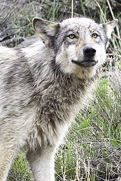 Lamar Canyon Pack Wolf in Yellowstone National Park, Wyoming. Join a Grizzly and Wolf Safari to see these amazing predators!