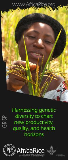Global Rice Science Partnership (GRiSP) Themes Theme 1: Harnessing genetic diversity to chart new productivity, quality, and health horizons Photo, Poster Design : R.Raman, AfricaRice