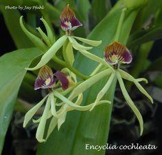 Anacheilium Cochleatum (5/2013 from Mom's plant)