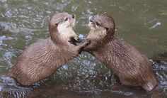 Playful Otters!
