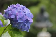 Sean's Japan Travel Journal: Hydrangea Flowers in Kamakura