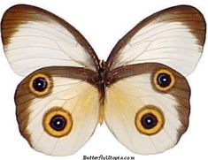Silky Owl Butterfly (Taenaris catops)