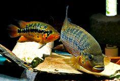 "Parachromis Motaguense ""Red Tiger"" Rio Blanco"