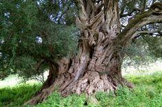 Olivenöl aus Sardinien: Oliven, Olivenernte, Geschichte, Anbauregionen, Oliven- und Ölivenölfeste auf Sardinien - Das virtuelle Reisemagazin - Sardinien.com