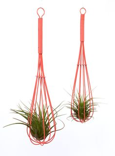 Whisk Air Plant