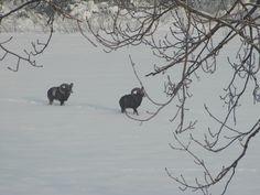 #gorysowie #muflony #animals #mountains #Bielawa #Ovisariesmusimon #