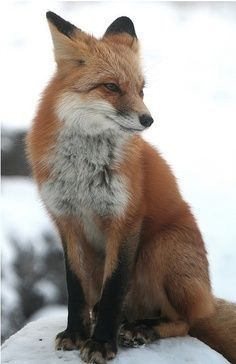 foxes, #foxes