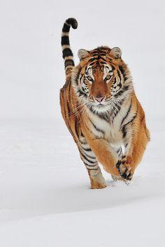 """""""Hasta la hora del ocaso amarillo  cuántas veces habré mirado  al poderoso tigre de Bengala  ir y venir por el predestinado camino  detrás de los barrotes de hierro,  sin sospechar que eran su cárcel."""" El Oro de los Tigres , Jorge Luis Borges"""