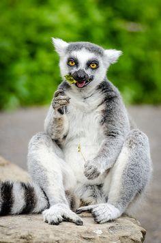 Ring-Tailed Lemur | by Mathias Appel