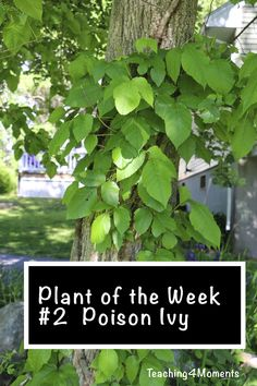 Teaching 4 Moments-Plant of the week-Poison Ivy  Learn about and Teach your kids how to identify and stay away from Poison Ivy!  Great pictures!