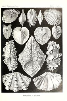 1904: Kunstformen der Natur. Ernst Haeckle  - Biodiversity Heritage Library