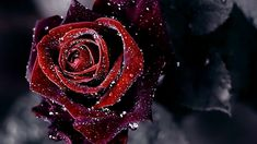 Black Rose Gothic Wallpapers Picture with HD Quality 1920x1080 px 216.53 KB
