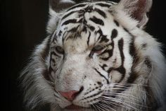 Tigers and Lions NEED Your Help ! PLEASE SIGN ! ! - Care2 News Network