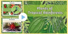 This PowerPoint features information and photos of a number of tropical rainforest plants and flowers. Rainforest Plants, Primary Resources, Interactive Activities, Eyfs, Lesson Plans, Plant Leaves, Tropical, Teaching, How To Plan