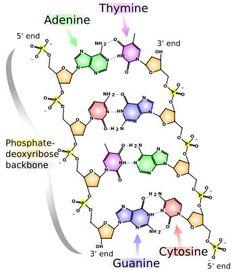 DNA to protein quiz
