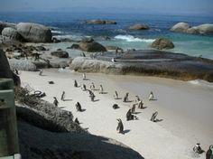 Boulders Beach. Sud Africa. Città del Capo:la famosa colonia di pinguini africani a simon's town nei sobborghi della città .