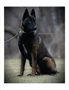 "Dark sable belgian Malinois ""Malinger's here comes the boom"" aka ""Timber"""