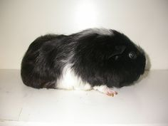 Guinea Pig - Short haired, American or English Animals Of The World, Rodents, Guinea Pigs, Rabbits, Mammals, English, Bird, American, Cute