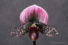 Lady Slipper-Orchid: Paphiopedilum 'Gloria Naugle' - Flickr - Photo Sharing!