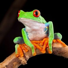 Photo about Red eyed tree frog at night in tropical rainforest treefrog Agalychnis callydrias in jungle Costa Rica bright vivid colors. Image of treefrog, agalichnis, frog - 23155674 Gray Tree Frog, Red Eyed Tree Frog, Tree Frog Terrarium, Terrarium Diy, American Green Tree Frog, Dumpy Tree Frog, Frog Sketch, Tree Frog Tattoos, Frog Tank