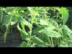 Organic Fertilizer, Plant Leaves, Avocado, Agriculture, Plant, Lawn And Garden, Lawyer