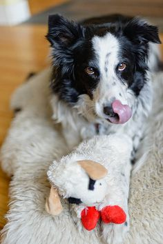 Lambchop is doomed Big Dogs, I Love Dogs, Cute Dogs, Border Collie Pictures, Border Collies, Rough Collie, Collie Dog, Cat Paws, Dog Cat