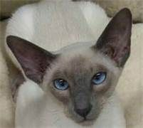 Blue Point Siamese Cats - Bing Images