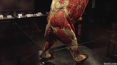 Body Worlds Bear - Lower Body