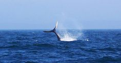 Whale watching on the Bay of Fundy is a must when visiting Nova Scotia. Several of the tour operators operate from Westport, Brier Island (the Whale Watching Capital of Nova Scotia). Photo courtesy of novascotiawhalewatching.ca