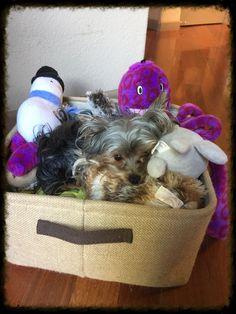 #mytoys zoey mae hoarding the toy box #YorkshireTerrier