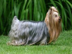 Chien Yorkshire Terrier Plus Small Dog Breeds, Small Dogs, Chien Yorkshire Terrier, Yorkie Dogs, Yorkies, Terrier Breeds, Terrier Dogs, Maine Coon, Pet Accessories