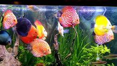 Fish Tank Heater Calculator (Aquarium Guide) #thepetsupplyguy #pet #pets #animal #fish #aquarium #fishtank #goldfish #guppy #tetra #heater #discus Video Credit: Planted Discus Tank Heated @wwnaquatic on IG