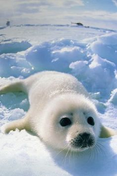 Baby Harp Seal by sharene Harp Seal Pup, Baby Harp Seal, Baby Seal, Cute Seals, Sea And Ocean, Cute Baby Animals, Polar Animals, Sea Creatures, Beautiful Creatures
