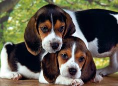 Are you interested in a Beagle? Well, the Beagle is one of the few popular dogs that will adapt much faster to any home. Whether you have a large family, p Clementoni Puzzle, Medium Sized Dogs, Medium Dogs, Droopy Eyes, Dog Wallpaper, Beagle Puppy, Free Dogs, 5d Diamond Painting, Cross Paintings
