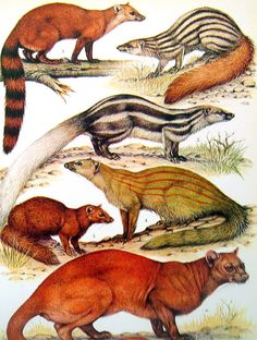 Animal Print  -Mongoose, Fossa and Civets - 1972 Vintage Encyclopedia Print Book Page 2 Sided