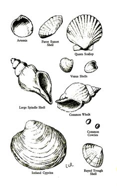 All sizes   Identifying Sea Shells   Flickr - Photo Sharing!