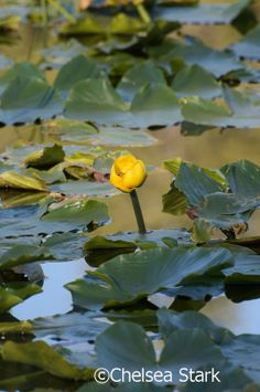 The Yellow Water-lily is an aquatic plant of the family Nymphaeaceae, native to temperate regions of Europe, northwest Africa, and western Asia. Water Garden Plants, Garden Pond, Garden Landscaping, All Flowers, Exotic Flowers, Beautiful Flowers, Aquatic Plants, Water Lilies, Planting Flowers