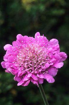 Scabiosa 'Pink Mist' Fotografia de John Glover, uno de los primeros y de los mas importantes fotografos de jardin del Reino Unido