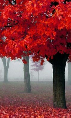 Red maple tree #nature #autumn #photography #fall  this is the color of my tree!!! Love, love, love!!!