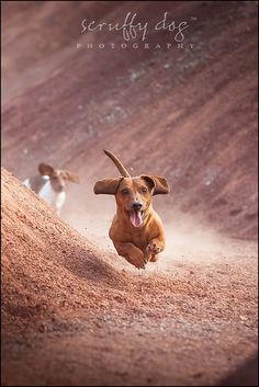 ontario-pet-photography-dachshund-photo-oscarrollocharlie-1028 - scruffy dog photography