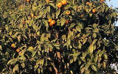 Frutíferas em casa e na calçada, por quê não?