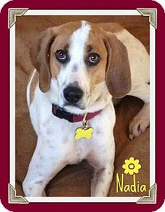 Say hello to Nadia! This smart girl knows basic commands, is housebroken, and crate trained!!! Are you looking for a walking partner, because Nadia can't wait to be by your side?!  http://www.adoptapet.com/pet7234104.html