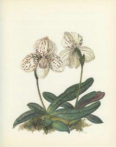 Vintage Print, Lady Slipper Orchid, Thailand, Botanical (107) Nat. History, Blossom, Flower, Art,1970, Kaplicka