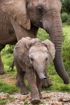 Elephants (by Rober Amazing World