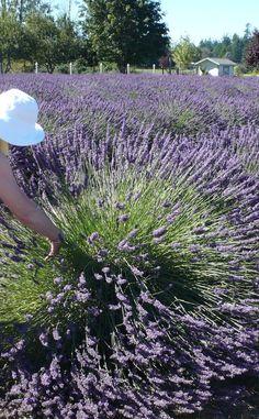 Two Sisters Lavender Farm | Travel | Vacation Ideas | Road Trip | Places to Visit | Williams | OR | Farm | Souvenir Shop | Tour | Tourist Attraction