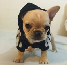 There's only one thing I love more than frenchies and that's frenchies in clothes :))