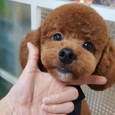 # Lemingdin # So schön mitten in der Nase # - Poodle puppy cut - Dog Grooming Styles, Poodle Grooming, Pet Grooming, Cortes Poodle, Poodle Haircut Styles, Toy Poodle Puppies, Red Poodle Puppy, Poodle Cuts, Red Poodles